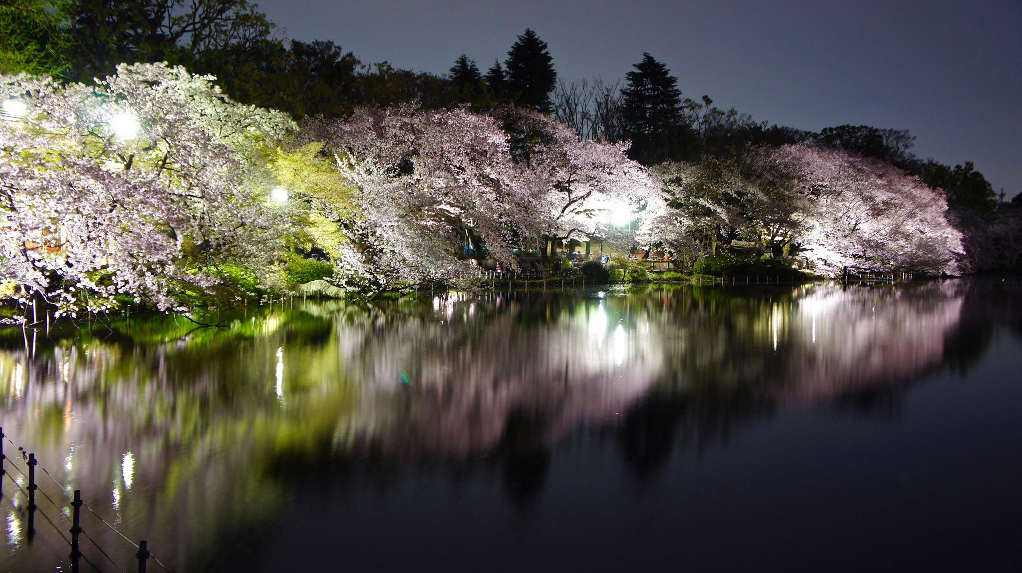 Top 100 : Cherry blossom illuminations at Inokashira Park in Kichijoji